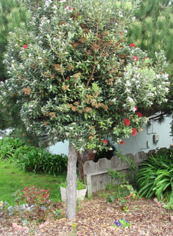 New Zealand Christmas Tree.Metrosideros Excelsa